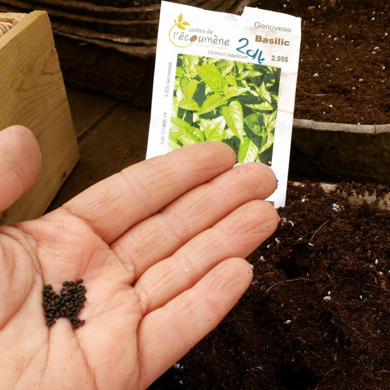 Le temps des semis de tomate et de basilic