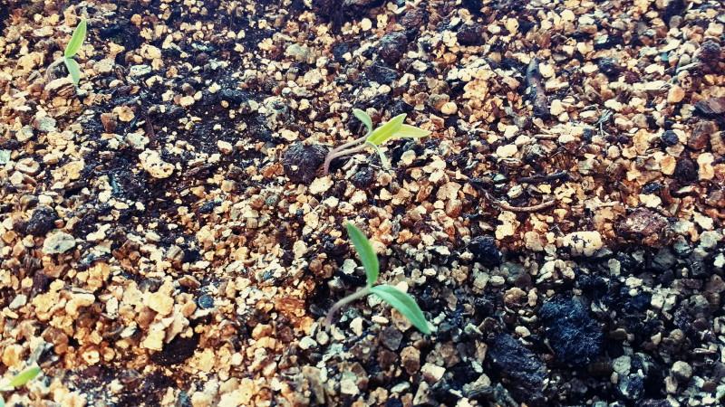Semis de tomates et de basilic