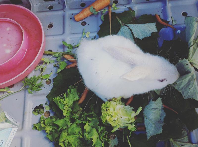 On vient d'hériter d'un joli lapin blanc que les enfants ont appelé Redgineige. Toshan voulait l'appeler Redgi et Sarah-Jeanne Neige! Une dame à pensé à nous quand ses voisins l'ont abandonné en déménageant... Et un animal de plus en adoption! Les enfants sont tellement contents qu'ils ont presque déterré toutes les carottes du jardin pour lui donner!!